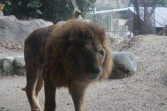 とべ動物園に行ってきたよ。迫力のライオンさん